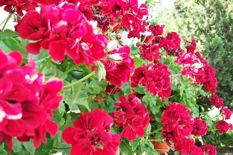 http://www.novigrad.hr/tradizionale_distribuzione_gratuita_di_piantine_di_fiori_il_29_aprile_alle