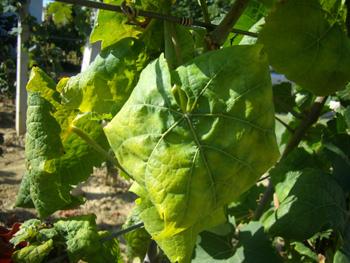 http://www.novigrad.hr/vazhna_obavijest_za_vinogradare_kako_se_zashtititi_od_zlatne_zhutice_vinove